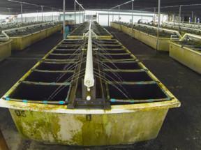 Big Island Abalone Farm